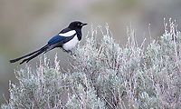 A rare close photo op with a Black-Billed Magpie. I was stunned when it didn't fly away as we approached.