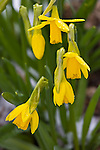 Vashon, WA<br /> Spring blossoms of yellow jonquil or Narcissus (Narcissus tete-a-tete)
