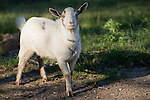 Brazoria County, Damon, Texas; a lone goat on a leash in the pasture