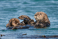 Southern Sea Otter (Enhydra lutris nereis) mother nursing pup.  Central California Coast.