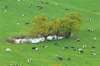 View of cows in field and farm pond taken from Beeston Castle, Cheshire.