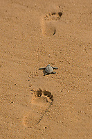 olive ridley sea turtle, Lepidochelys olivacea, vulnerable species, crawling on human footprints, Padampeta Beach, Rushikulya Rookery, Odisha, India, Indian Ocean