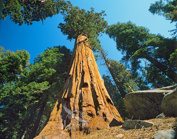 Giant Sequoia Tree (Sequoia Gigantea) Seqoia National Park, CA.