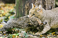 jungle cat, reed cat, or swamp cat, Felis chaus, with a kill of rabbit