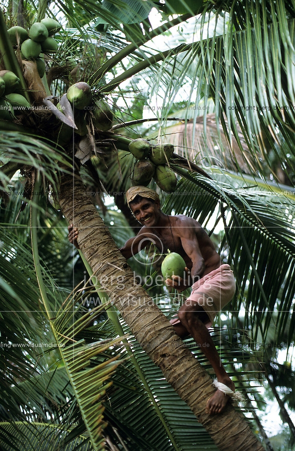INDIA, harvest of coconut at farm near Mangalore, the coconut has a multipurpose use for copra edible oil, coconut milk, desiccated coconut, coir fibre, timber / INDIEN Karnataka, Ernte von Kokosnuß auf Kokosplantage bei Mangalore, Ernte von Kokosnuessen zur Nutzung als Kokosfaser Coir Copra Kokosoel