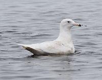 Glaucous gull first winter