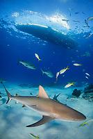Caribbean reef shark, Carcharhinus perezii, boat, Bahamas, Caribbean Sea, Atlantic Ocean