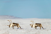 Barren ground caribou travel across the snow covered tundra along the Arctic Coastal Plains, Arctic Alaska.