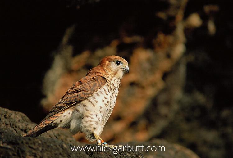 Mauritius Kestrel (Falco punctatus) perched on cliff. Black River Gorges National Park, Mauritius.