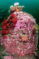 Typical scenary on a rock in the Gulf of Saint Lawrence. Frilled anemones; plumose anemones; Metridium senile; Scarlet Sea Cucumber; Psolus fabricii; brown psolus; Psolus phantapus; Northern red anemone; Urticina felina; Gulf of Saint Lawrence; Quebec; Canada; North West Atlantic; extends tentacles to gather food and puts one tentacle at a time into the mouth