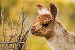 Llama (Lama glama) cria browsing, Abra Granada, Andes, northwestern Argentina