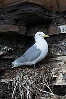 Dreizehenmöwe, auf ihrem Nest in der Steilwand, Felswand, Dreizehen-Möwe, Möwe, Dreizehenmöve, Rissa tridactyla, kittiwake, am Brutfelsen, Vogelfelsen, Vogelfels