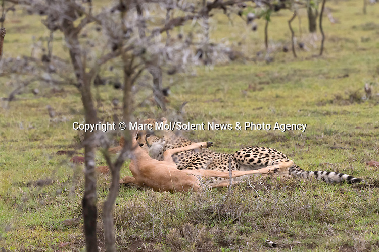 Pictured:  Sequence 9 of 11: A cheetah with the topi calf before mum comes back again to chase it off.<br /> <br /> An antelope accidentally crashes into its young calf as flee from five cheetahs.  The female topi had been grazing peacefully with the youngster before the predators attacked.<br /> <br /> Fortunately the pair were eventually able to escape by sprinting away from the hungry cheetahs.  The dramatic images were captured in the Naobosho Conservancy, on the Mara Reserve in Kenya by photographer Marc Mol.  SEE OUR COPY FOR DETAILS.<br /> <br /> Please byline: Marc Mol/Solent News<br /> <br /> © Marc Mol/Solent News & Photo Agency<br /> UK +44 (0) 2380 458800