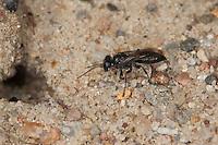 Heuschrecken-Grabwespe, Heuschrecken-Wespe, Heuschreckenwespe, Grabwespe gräbt Erdhöhle in Sandboden, am Nesteingang, Grabwespen, Tachysphex spec., digger wasp, Spheciformes