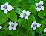 Olympic National Park, Washington<br /> Flowering dogwood (Cornus canadensis Chamaepericlymenum) on the forest floor in the Sol Duc river valley