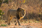 African Lion (Panthera leo) six year old male, Kafue National Park, Zambia
