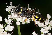Schildbeinige Silbermundwespe, Silbermund-Wespe, Männchen, Blütenbesuch, Crabro cribarius, slender-bodied digger wasp