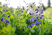 Baptisia australis minor 'Dark Blue'