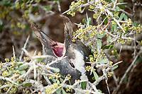 bird, Magellanic penguin, Spheniscus magellanicus, calling, Punta Norte, Peninsula Valdes, Chubut, Argentina