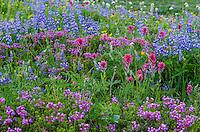 Wildflowers--lupine, arnica, paintbrush, valerian, heather and anemone or western pasqueflower--in subalpine meadow, Mount Rainier National Park, WA.  Summer.
