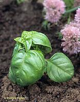 1Y39-033b  Basil - ashes around basil plant to keep snails and slugs away - Ocimum basilicum