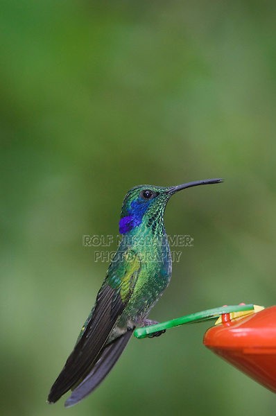Green Violet-ear, Colibri thalassinus, male perched on Hummingbird Feeder, Central Valley, Costa Rica, Central America, December 2006
