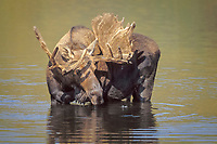 moose, Alces alces, bull with velvet antlers stands in a kettle pond to feed on aquatic vegetation, Denali National Park, interior, Alaska, USA