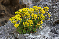 Immergrünes Felsenblümchen, Rosetten-Hungerblümchen, Felsen-Fungerblümchen, Felsenhungerblümchen, Rosettiges Felsenblümchen, Draba aizoides, Yellow whitlow-grass, Yellow whitlow grass