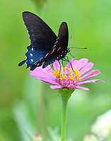 Pipevine swallowtail male