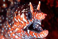 dragon moray, Enchelycore pardalis, Yawatano, Izu Peninsula, Japan, Pacific Ocean