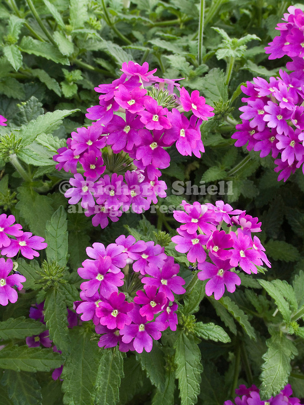 Verbena Lanai Light Purple II