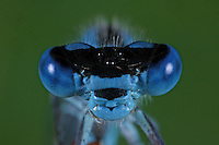 Becher-Azurjungfer, Becherazurjungfer, Azurjungfer, Portrait, Porträt, Komplexauge, Facettenauge,, Enallagma cyathigera, Enallagma cyathigerum, common blue damselfly, common bluet damselfly, Agrion porte-coupe