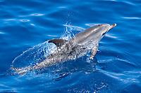 Atlantic Spotted Dolphin (Stenella frontalis) adult porpoising. Azores, Atlantic Ocean