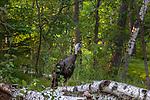 Jake turkey in northern Wisconsin.