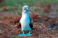 Iconic blue-footed booby bird on North Seymour Island with blurred red and green volcanic rock and vegetation background, Galapagos, Ecuador