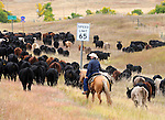 Cattle heard with 65 mile per hour sign driving cattle to winter pasture, Cow herd Hulett Wyoming, Wyoming, Wyoming is a state in Western United States, Eastern Rocky Mountains, High Plains, least populous state, Cheyenne, Yellowstone National Park, Grand Teton National Park, Devils Tower, Fossil Butte, Oregon Trail, Pony Express, erution of geyser in yellowstone, Crow, Arapaho, Lakota, Shoshone, Fine Art Photography by Ron Bennett, Fine Art, Fine Art photo, Art Photography, Copyright RonBennettPhotography.com ©