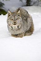 Canada Lynx sitting and watching from the snow - CA
