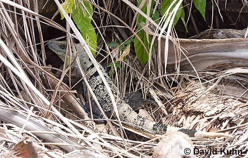 0626-1112  Camouflaged Black Spiny-tailed Iguana (Black Iguana, Black Ctenosaur), On Half-moon Caye in Belize, Ctenosaura similis  © David Kuhn/Dwight Kuhn Photography