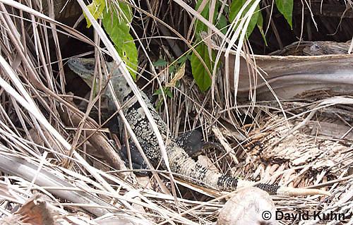 0626-1112  Camouflaged Black Spiny-tailed Iguana (Black Iguana, Black Ctenosaur), On Half-moon Caye in Belize, Ctenosaura similis  © David Kuhn/Dwight Kuhn Photography