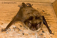 MA20-609z  Little Brown Bats, Myotis lucifugus