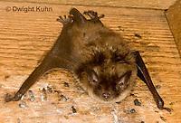 MA20-609z  Little Brown Bats, Myotis lucifugus