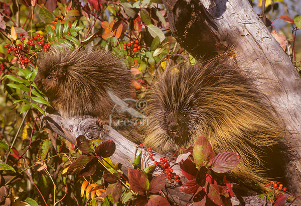Porcupine adult and young (Erethizon dorsatum) feeding on mountain ash.  Montana.  Fall.