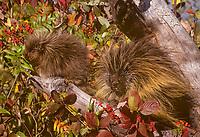 Porcupine adult and young (Erethizon dorsatum) feeding on mountain ash.  Montana.  Fall.