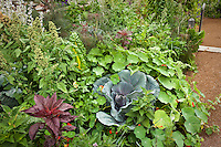 Intensively planted organic mixed garden with vegetables, herbs, and flowers in California wine country garden; cabbage, chard, quinoa grain, nasturtium, amaranth