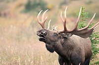 A bull moose sniffs the air in Alaska's Chugach State Park., one of its behaviors during the rut.