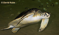 0606-0908  Atlantic Green Sea Turtle Swimming Underwater, Chelonia mydas  © David Kuhn/Dwight Kuhn Photography