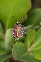 Beerenwanze, Beeren-Wanze, Dolycoris baccarum, sloe bug, sloebug, la Punaise des baies, Pentatome des baies, Baumwanzen, Pentatomidae, stink bugs