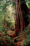 Old-growth Western Red Cedar tree dwarfs human, Thuja plicata, Meares Island, Clayoquot Sound, west coast of  Vancouver Island, British Columbia, Canada,