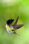 Amazalia Pechiazul / colibríes de Panamá.<br /> <br /> Blue-chested Hummingbird / hummingbirds of Panama.<br /> <br /> Amazalia amabilis.<br /> <br /> Edición de 25 | Víctor Santamaría.