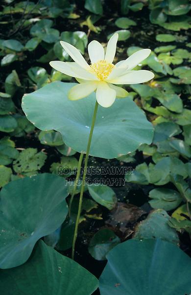 American Lotus (Nelumbo lutea), blooming, Welder Wildlife Refuge, Rockport, Texas, USA, May 2005